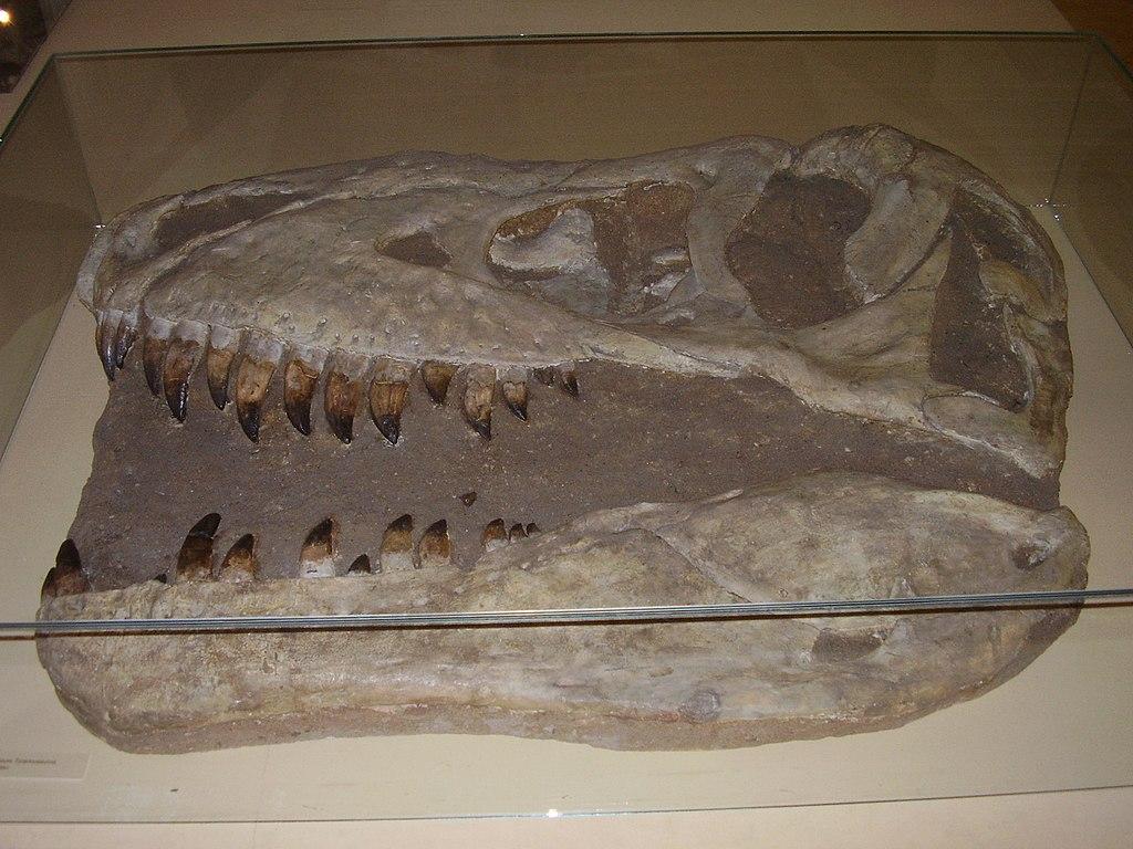 Replika lebky tarbosaura v původní expozici Národního Muzea v Praze (snímek z roku 2007). Běžně objevované fosilie tohoto obřího teropoda existenci žádných anatomických struktur podobných hrdelním vakům pelikánů nenasvědčují. To ovšem neznamená, že u