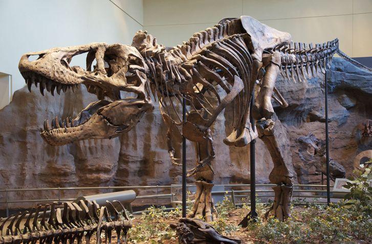 Kostra holotypu druhu T. rex, dnes s označením CMNH 9380. Při délce necelých 12 metrů byl tento exemplář zhruba stejně velký jako UCMP 118742. Zatímco holotyp byl však dospělým exemplářem, zmíněný jedinec měl v době své smrti zřejmě jen 16 let. Mohl