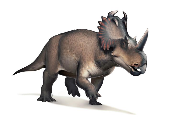 U některých ptakopánvých dinosaurů, jako byl například ceratopsid Centrosaurus apertus, byly hyoidní kosti anatomicky komplexnější, než u teropodních dinosaurů. To znamená, že i jejich jazyk byl nejspíš pohyblivější a flexibilnější. Důvodem mohla být
