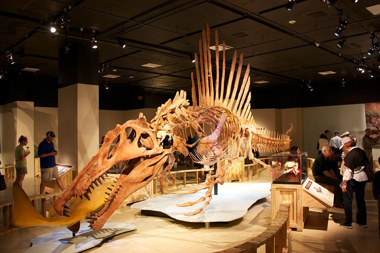 Nově rekonstruovaná kostra obřího spinosaura, coby zdatného plavce a ekologicky vzato spíše obojživelného predátora s velmi krátkýma zadníma nohama. Kredit: Mike Bowler, Wikipedie
