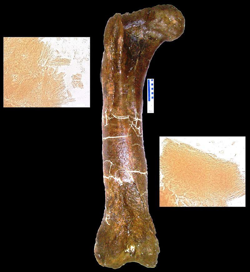 """Stehenní kost tyranosauřice """"B-rex"""" (MOR 1125), ze které Mary H. Schweitzerová získala vzorky měkkých tkání a biomolekul. Podle neověřených zpráv se možná ve zkamenělině dosud ukrývají fragmenty původní DNA dinosaura. Kredit:"""