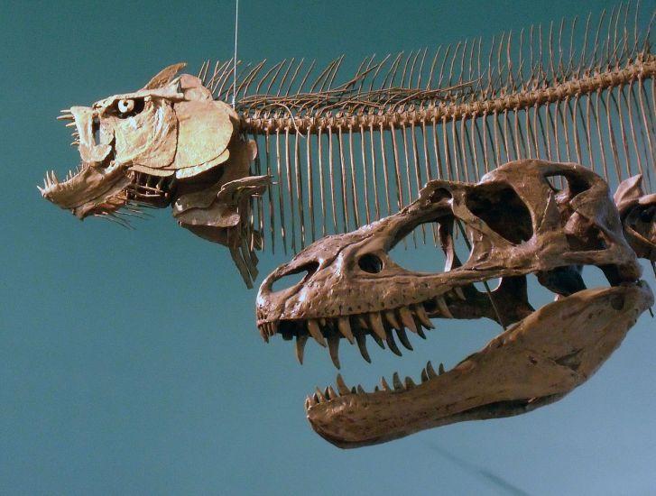 U některých exemplářů tyranosaurida druhu Gorgosaurus libratus byly objeveny fragmenty původního sklerotikálního prstence. Je tedy možné, že tento podpůrný anatomický prvek byl přítomen i u mladšího a většího druhu T. rex. Kredit: M. Beauregard; Wiki