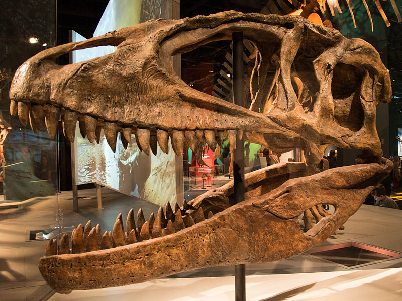 Charakteristicky dlouhá a nízká lebka karcharodontosaura s velkým preorbitálním otvorem. Délka lebek těchto dinosaurů se pohybuje mezi 1,5 – 1,7 metru a jsou tak delší (i když méně masivní) než lebky tyranosaurů. Kredit: M. Deery,