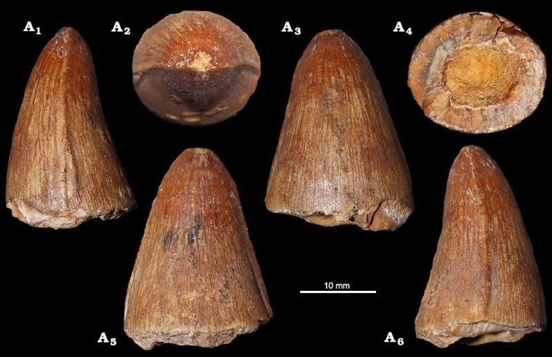Zub metriorynchida identifikovaný jako Torvoneustes? sp. (NHMW 2020/0025/0002). Převzato z práce Madzia a kol. (2021).