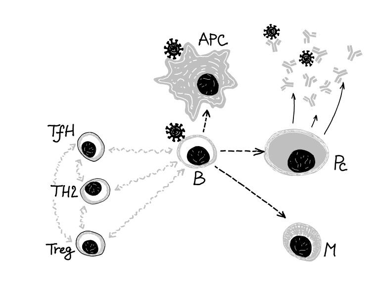 Lymfocyty B reagují na antigen překládaný jinými buňkami (APC), dostávají další signály a jsou znich vybírány efektorové klony, schopné produkovat specifické protilátky (Pc), které můžeme detekovat vséru. Celý proces je složitě řízen pomocí sítě da