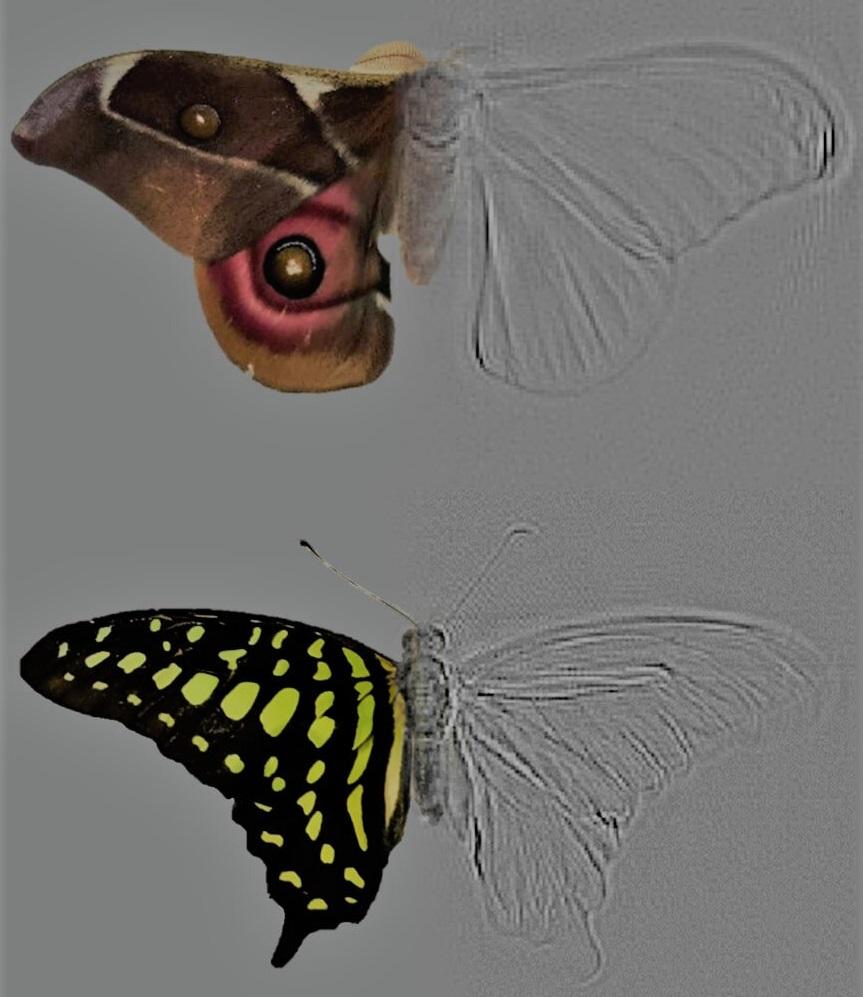 Složené obrazy můry a motýla ukazují, jak akustická tomografie vykreslí  obraz pozorovaného objektu (šedě).Tato technika dovoluje měřit, kolik zvuku se od kterých čístí těla odráží. Kredit: Thomas R. Neil a Marc W. Holderied.