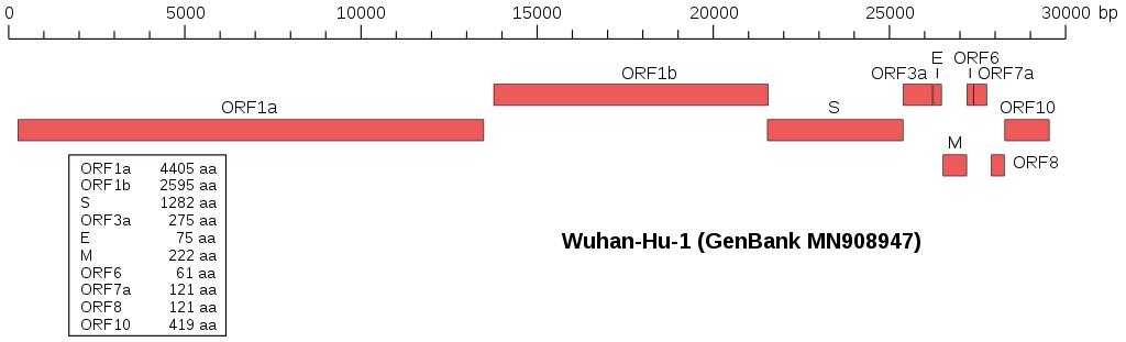 Genom covidu. Mutací se (téměř) meze nekladou. Kredit: Furfur / Wikimedia Commons.