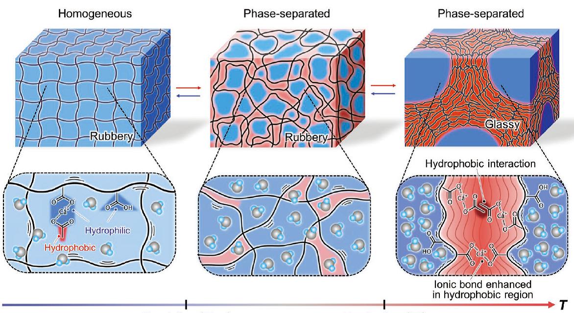 Mechanismus ztvrdnutí nového hydrogelu. Kredit: Nonoyama et al. (2019), Advanced Materials.