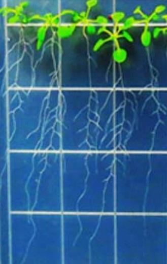 Pokusné roubované rostliny Arabidopsisi s prýtem na světlo necitlivým a kořenovou částí na světlo citlivou. Architektura kořenů u nich vypadá víceméně shodně s kontrolní skupinu s nepozměněnou citlivostí. Kredit: Hyo-Jun Lee, SNU.