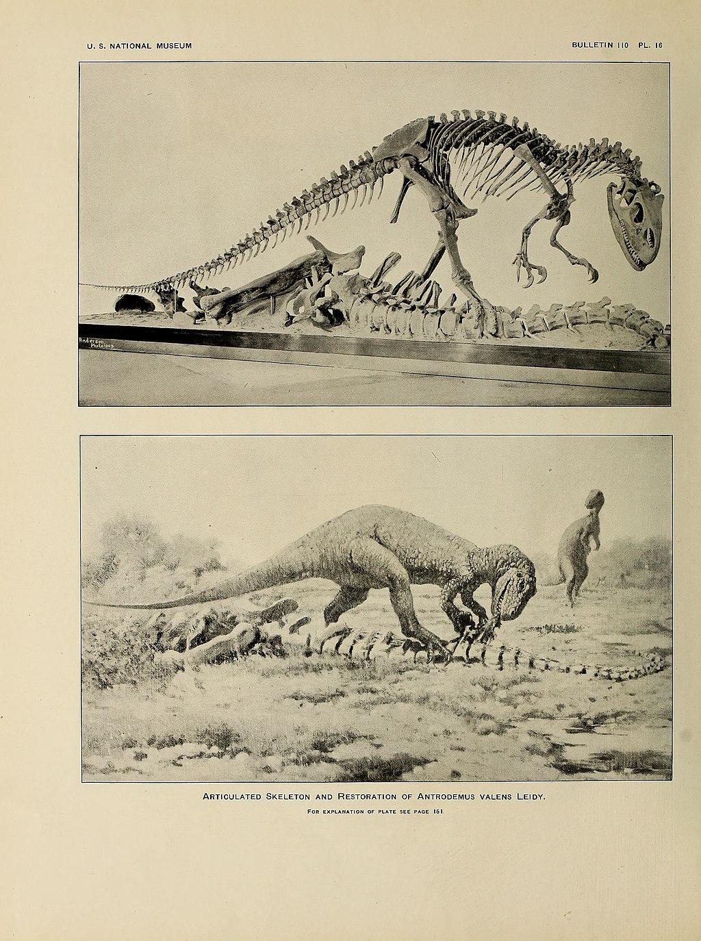 Dnes již silně zastaralá obrazová rekonstrukce vzezření alosaura, vytvořená umělcem Charlesem R. Knightem podle kostry vystavené v expozici Národního muzea přírodní historie ve Washingtonu, D. C. V jedné věci se autoři expozice nespletli – tito velcí