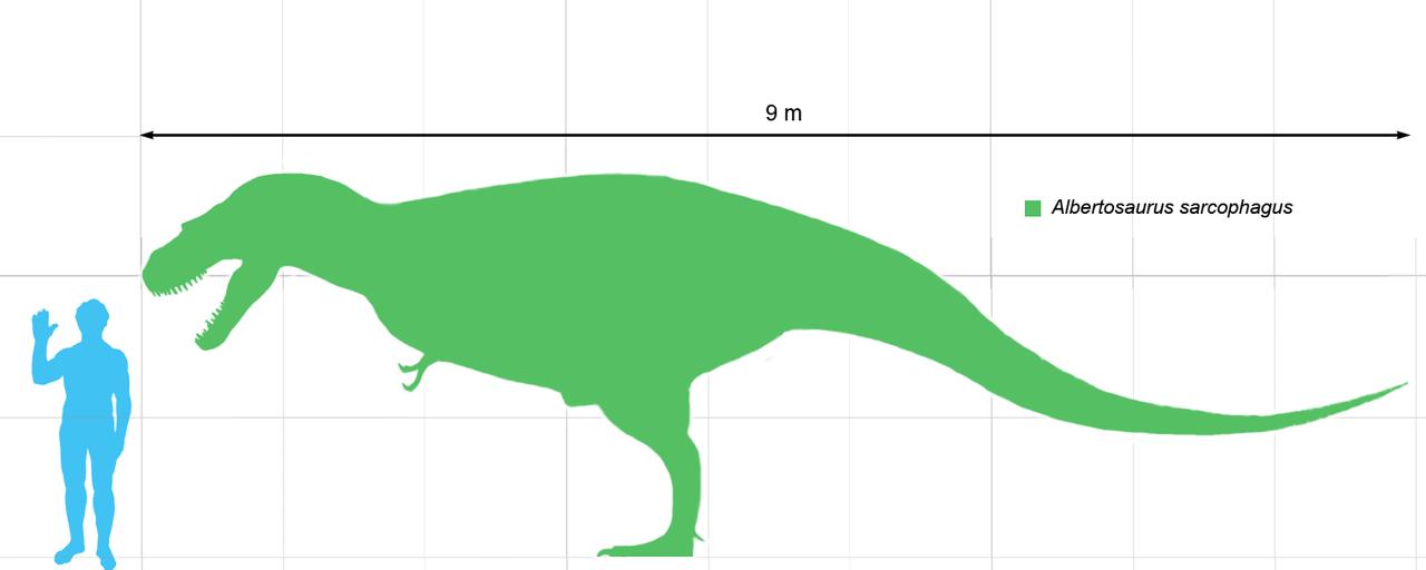 Velikost průměrně vzrostlého dospělce albertosaura v porovnání s 1,8 metru vysokým člověkem. Jsou však známé i albertosauří exempláře přesahující délku 10 metrů nebo naopak mláďata o zhruba dvoumetrové délce. Kredit: Matt Ma