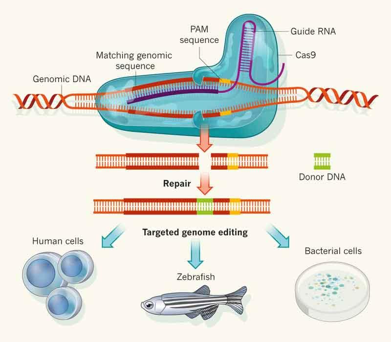 CRISPR/Cas9. Kredit: Charpentier & Doudna (2013), Nature.