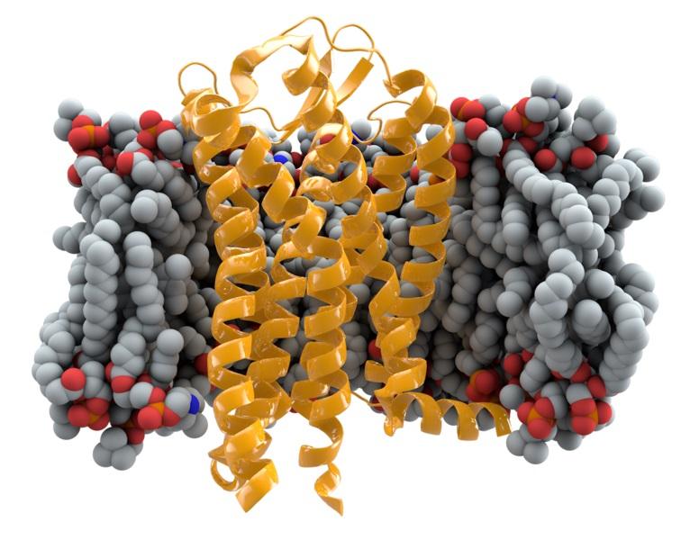 Receptor CCR5 (žlutě) vbuněčné membráně. Kredit: Thomas Splettstoesser.