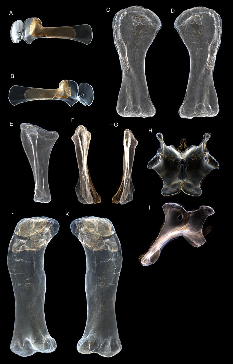 Trojrozměrné virtuální modely fosilií typového exempláře druhu A. cooperensis. Samotná stehenní kost tohoto dinosaura měří na délku asi 215 centimetrů. Autoři popisné studie spočítali, že australský sauropod dosahoval délky až kolem 30 metrů a výšky