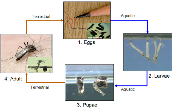 Životní cyklus komára tropického. Kredit: CDC.