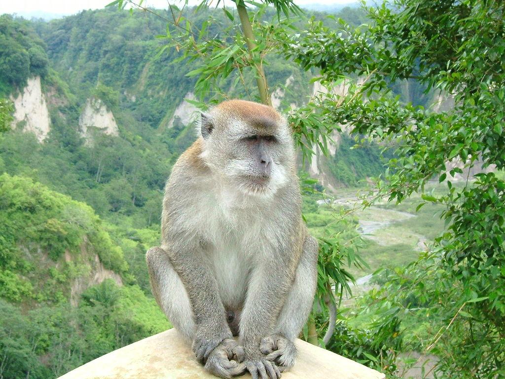 Makak jávský. Kredit: Sakurai Midori / Wikimedia Commons.