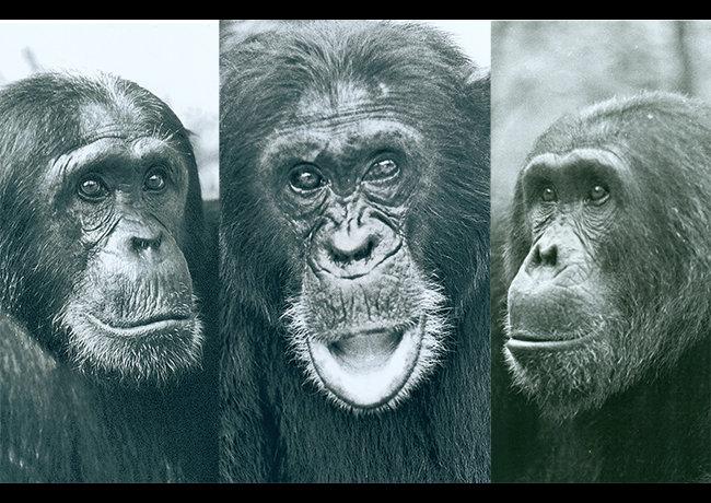 Trojice vůdců, která přivedla svou tlupu kválce. Kredit: Geza Teleki / Duke University.