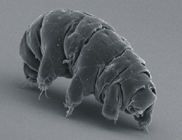 Želvuška v rastrovacím elektronovém mikroskopu. Kredit: S chokraie E, Warnken U, Hotz-Wagenblatt A, Grohme MA, Hengherr S, et al. (2012).