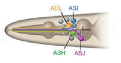 Čtyři hlavní senzorické neurony háďátka (ASJ, ASH, ASI, a ADL).