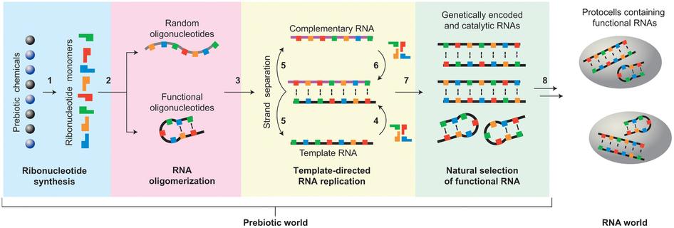 Jak vznikl samotný RNA svět? Kredit: Hernández & Piccirilli (2013), Nature Chemistry.