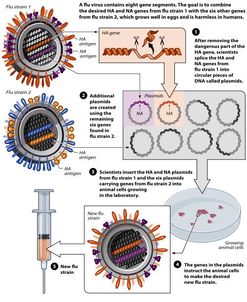 Reverzní genetika při vývoji vakcíny proti ptačí chřipce. Kredit: Mouagip / NIH.