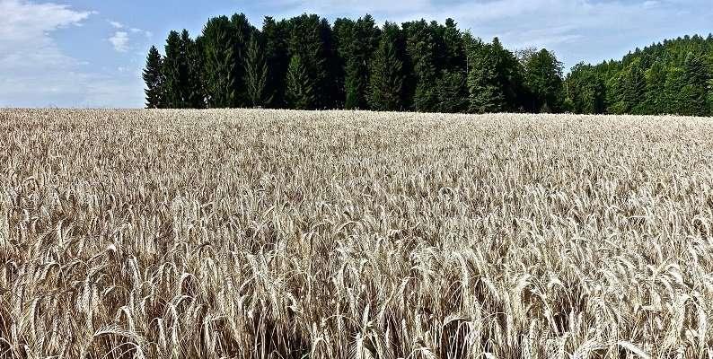 Nyní jen 32 % boreální oblasti má klimatické parametry vyhovující obilovinám, jakými jsou oves a ječmen. Kredit: University of Leeds