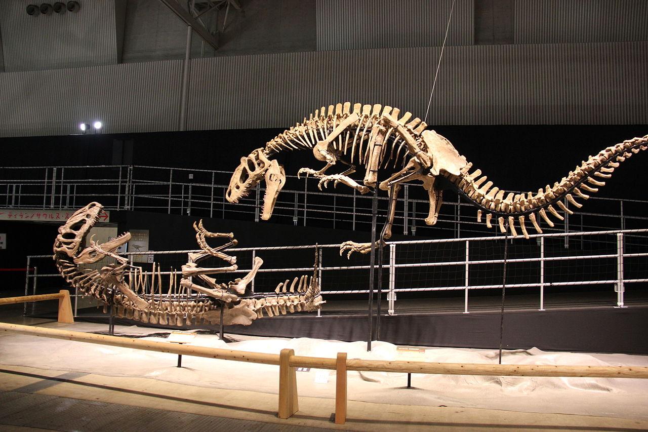 Rekonstrukce dvou koster největšího dosud známého prokazatelně opeřeného živočicha, čínského tyranosauroida druhu Yutyrannus huali. Tito devítimetroví, vysoce aktivní predátoři patří k nejlepším ukázkám posunu v nahlížení n