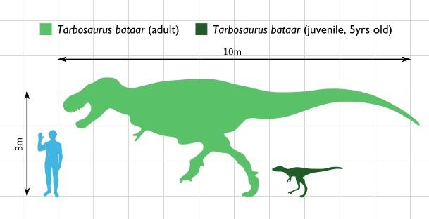 Velikostní srovnání dospělého člověka s dospělcem a pětiletým mládětem asijského tyranosaurina druhu Tarbosaurus bataar. Je možné, že právě tento mongolsko-čínský tyranosauridní teropod byl přímým předkem ještě většího a hrozivějšího severoamerického