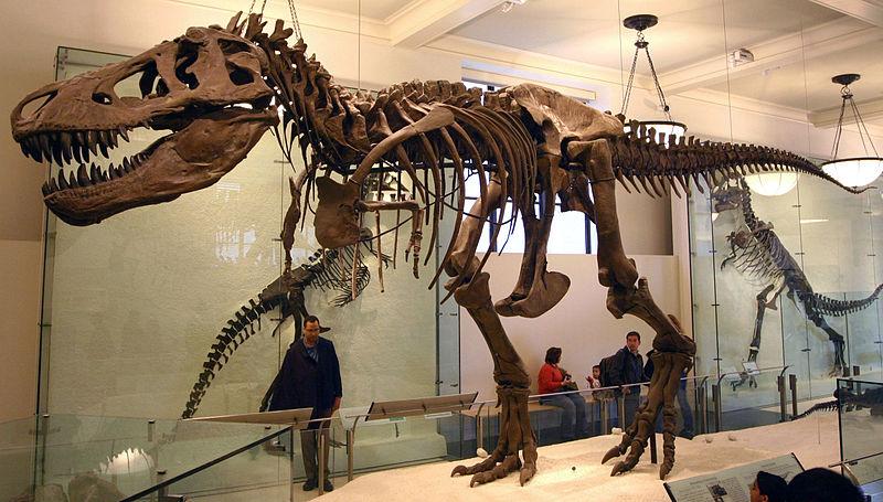 Současná modernizovaná podoba kostry druhého v pořadí objeveného tyranosaura (AMNH 5027). I po více než století po svém objevení představuje pomyslný zlatý hřeb expozice Amerického přírodovědeckého muzea v New Yorku. Autor snímk