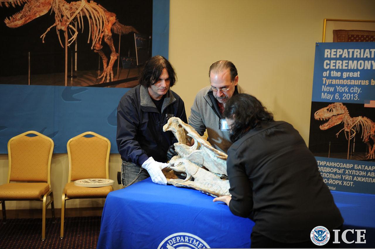 Fosilie tyranosauridů jsou také cenným artiklem na černém trhu s dinosauřími zkamenělinami. Zde část lebky mongolského tarbosaura, propašovaná do Spojených států a roku 2013 při slavnostním ceremoniálu vrácená do země svého původu. Kredit: Michael Jo