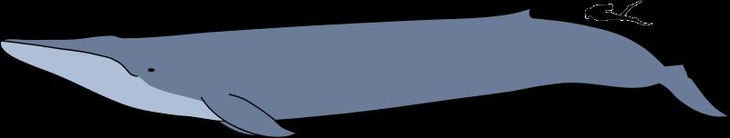 Velikost dospělého plejtváka obrovského (Balaenoptera musculus) v porovnání se siluetou potápěče. Ačkoliv tito kolosální kytovci nepřekonávají největší dinosaury svojí délkou (rekordní jedinec měl 33,6 m), z hlediska tělesné h