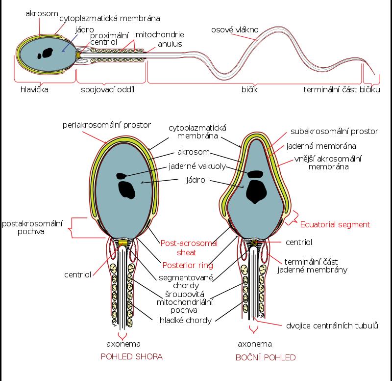 Lidská spermie. Kredit: Michal Maňas, podle obrázku Mariana Ruiz