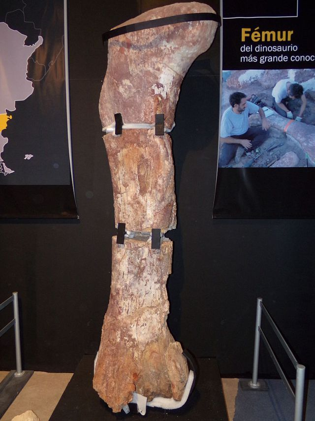 Obří stehenní kost sauropoda druhu Patagotitan mayorum, formálně popsaného v loňském roce. Kost je dlouhá asi 2,4 metru a patřila zvířeti vážícímu kolem 70 tun. Kredit: Gastón Cuello, Wikipedie (CC BY-SA 4.0)