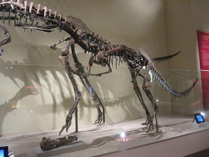 Snímek z výstavy kosterních replik raně křídových čínských dinosaurů, v popředí Xiongguanlong a za ním ještě větší ornitomimosaurní teropod druhu Beishanlong grandis. Tento vzdálený příbuzný galimima či strutiomima byl s hmotností kolem 600 kilogramů