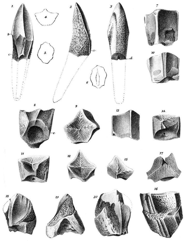 """Ilustrace fragmentů fosilních zubů lambeosaurinních kachnozobých dinosaurů (hadrosauridů), popsaných Josephem Leidym v roce 1856 jako """"Trachodon mirabilis"""". Toto vědecké jméno již nicméně dlouho není v platnosti. Kredit: Wikipedie (volné dílo)"""