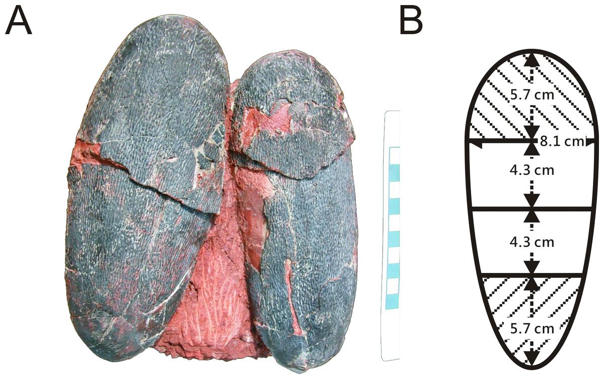 Tentokrát nejde o peří, ale o vejce oviraptora Heyuannia huangi. Jsou  modrozelená, protože si po miliony let uchovala molekuly protoporfyrinu a biliverdinu.  Kredit: Jaime A. Headden)