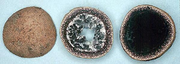 Jelenka obecná (Elaphomyces muricatus), Kredit: Michael Castellano, Wikipedia