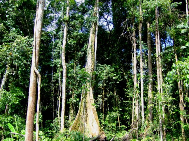 Primární tropický prales na Papui – Nové Guinei. Kredit: P. Klimeš.
