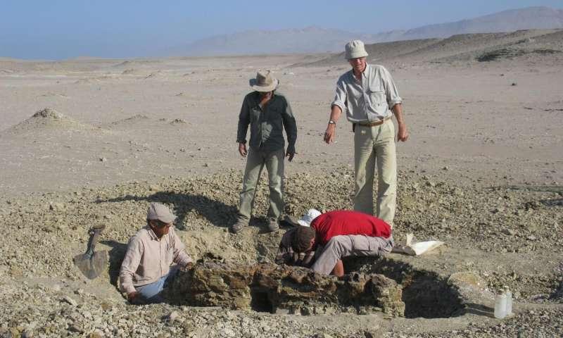 Začátek vykopávek něčeho, co se později ukázalo být kostrou pravelryby. (Kredit: Giovanni Bianucci)