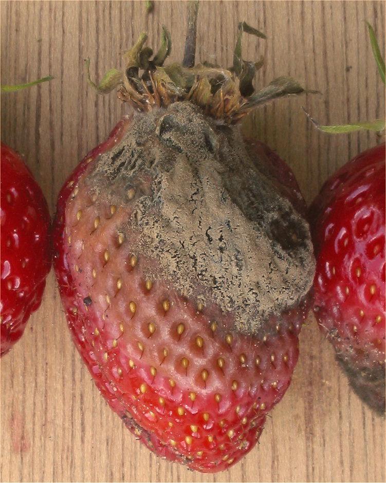 Plíseň šedá (Botrytis cinerea). Zde na jahodě. Připravit o úrodu umí i vinaře a …  Kredit: Rasbak, CC BY-SA 3.0.