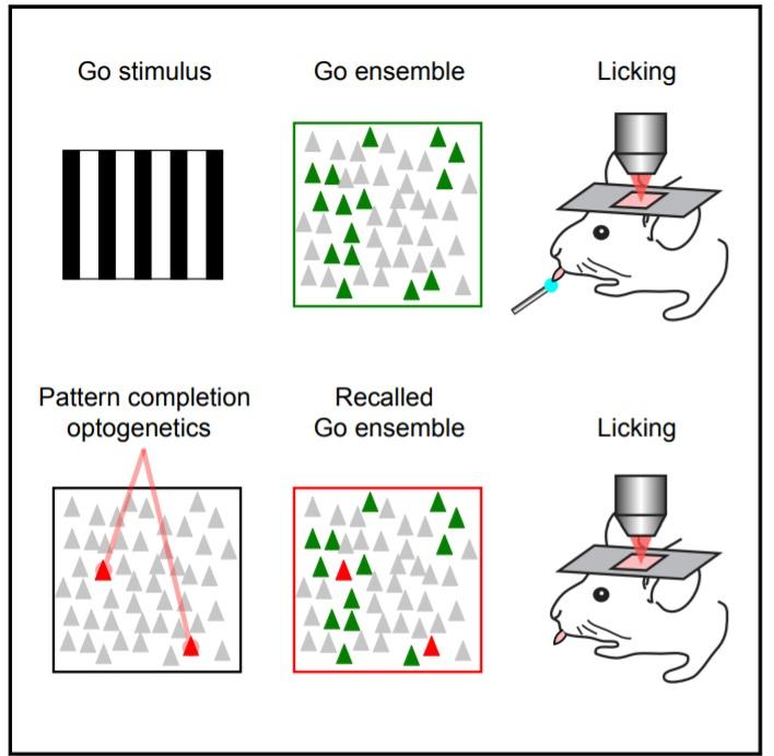 """Technikou holografické optogenetiky se nejprve v mozku aktivuje vzor při naučeném chování. Později  stačí příslušným vzorem aktivovat dva neurony v mozku a zvíře se začne """"patřičně"""" chovat  aniž by se mu dostalo  vizuálního podnětu. (Kredit: Yuste La"""