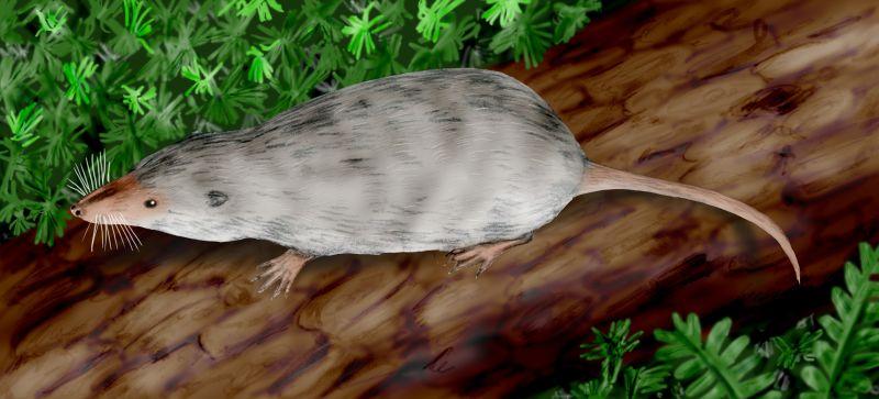 Adelobileus, rekonstrukce podle fosilizované lebky nalezené v Texasu. Je považován za společného předka všech moderních savců nebo jeho  blízký příbuzný společného předka. Kredit: Nobu Tamura (http://spinops.blogspot.com)