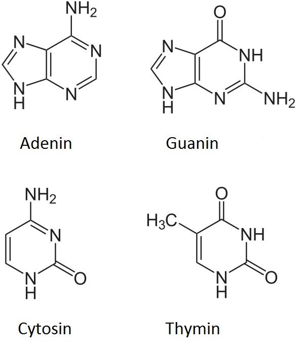 Přirozené nukleové bázejsou základní součástíDNA. Jejich sled vytvoří zápisgenetické informace. Jejich párování dovoluje zapsanou informaci replikovat.
