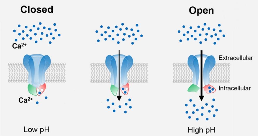 Schema senzoru CatSper reagujícího na pH prostředí. Reakcí na vnější podnět se kanál otevírá a dovoluje průnik vápenatých iontů do nitra spermie. Tím byl vydán  signál pro spuštění molekulárního motoru vrtějícícho bičíkem. Kredit: Hwang et al., 2019.