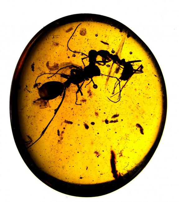 Dva mravenci z Myanmaru, které lapila pryskyřice v průběhu smrtelného souboje. Co je na tom zajímavého? K souboji došlo už před 99 miliony let. Kredit: Copyright AMNH/D. Grimaldi and P. Barden