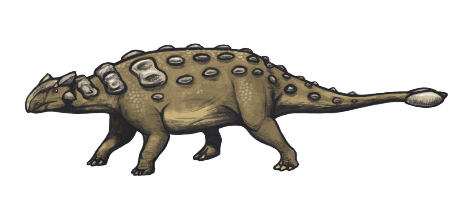 Rekonstrukce vzezření druhu Ankylosaurus magniventris. Nová studie dokládá, že největší exempláře byly podstatně větší, než se v posledních dvou desetiletích předpokládalo. Délka tohoto dinosaura totiž mohla dosahovat asi 8 až 9 metrů a hmotnost čini