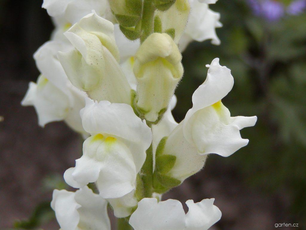 Hledík -  nenáročná a jedna z nejoblíbenějších letniček. Jeho květ je pro včelovité velkým oříškem. (Kredit: Garten.cz)  www.garten.cz  https://www.garten.cz/foto/cz/23554/