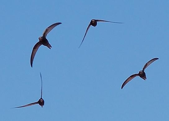 Momentka hejna ukazuje, jaké divy rorýsům dovoluje s křídly dělat jejich hrudní pletenec. (Kredit: Keta,  CC BY-SA 3.0,  en-Wikiedia)