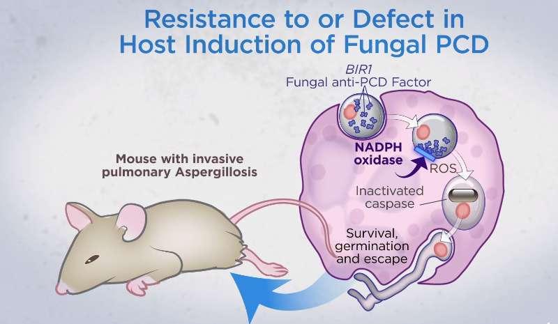 Aktivita genu AfBIR1 (v obrázku zkráceně BIR), rozhoduje o náchylnosti konidií na NADPH (redukovanou formu nikotinamidadenin dinukleotid fosfát) oxidázya tím zprostředkovaně rozhodne o hostitelově náchylnosti k invazivní aspergilóze.Myší imunitní s