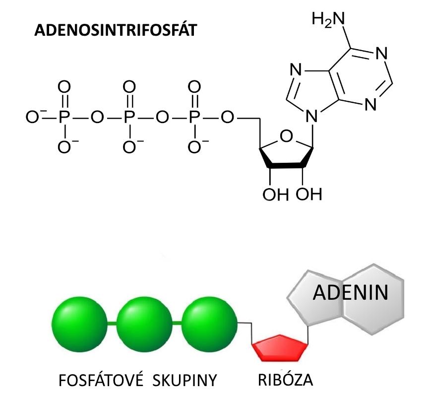 Adenosintrifosfát (ATP). Zásadní molekula pro funkci všech buněk. Při jejím rozkladu se uvolňuje značné množství energie. Slouží jako substrát pro  skupinuenzymůzvanýchkinázy. Přenáší fosfátový zbytek na cílovou molekulu.